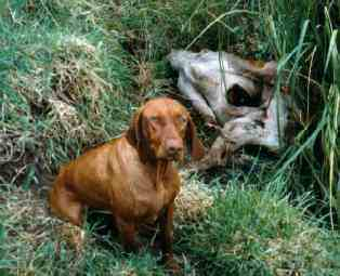 Deer hunting dog breeds - photo#11
